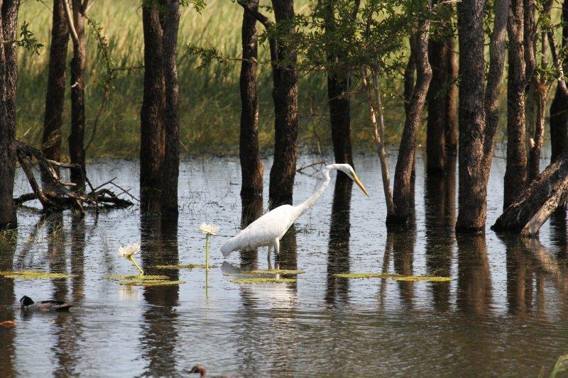 Great Egret at Marlgu Billabong