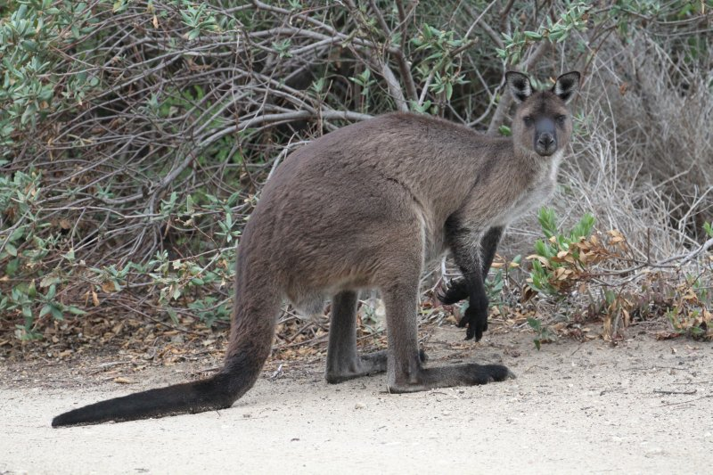 KI Kangaroo