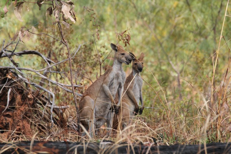 Kangaroos or Walleroos