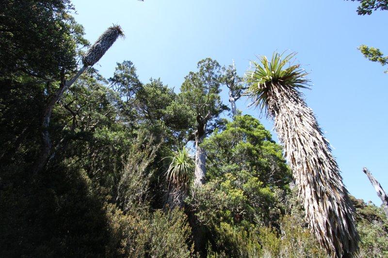Pandani palms