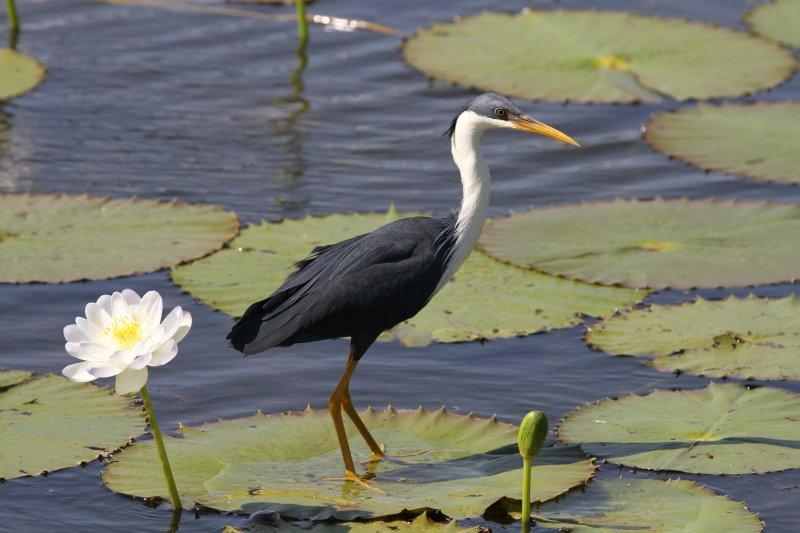 Pied Heron on Marlgu Billabong
