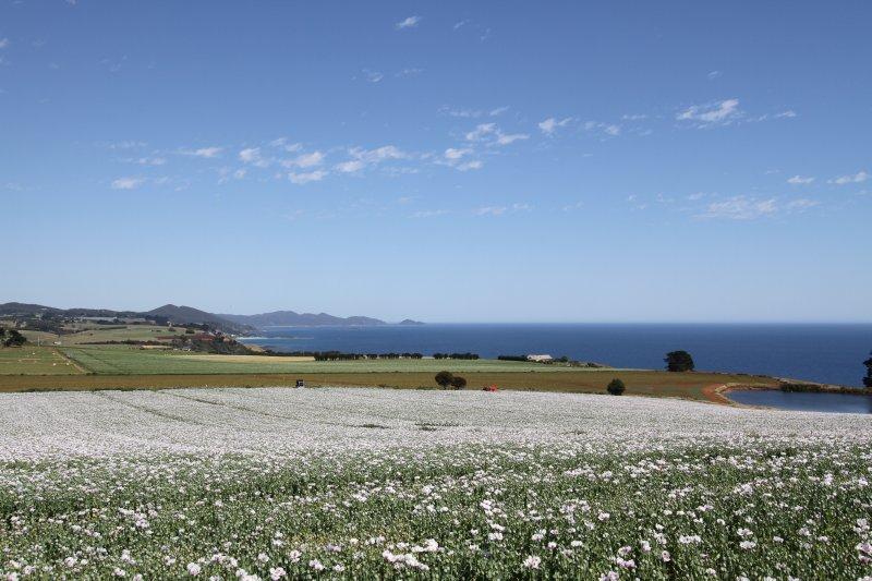 Poppy fields near Wynyard