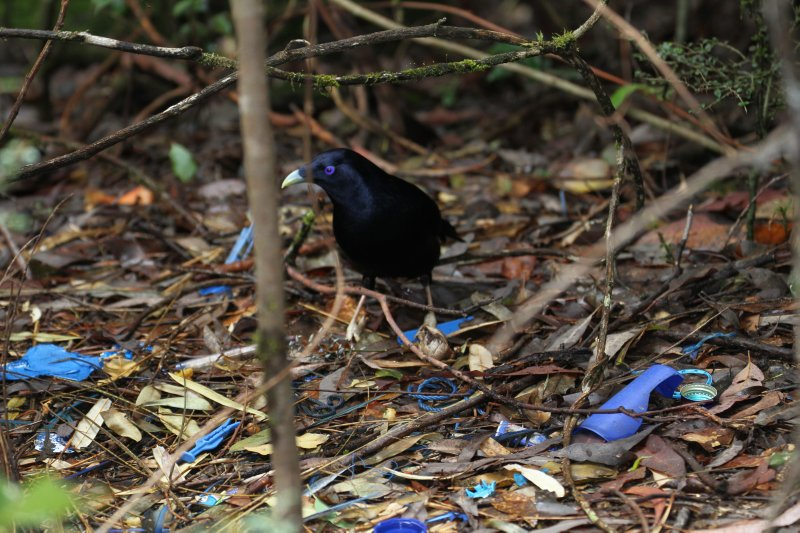Satin Bowerbird with its collection of blue decorations