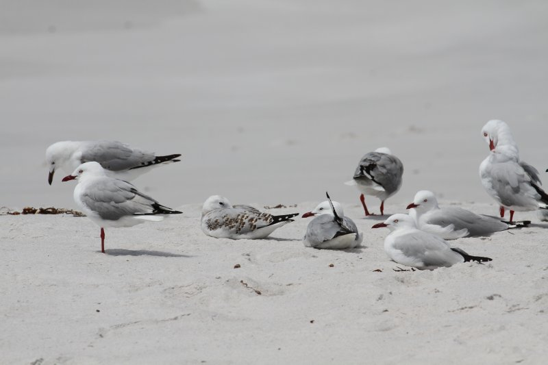 Silver Gulls resting on the beach