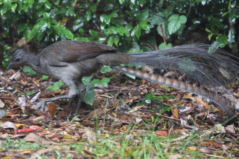 Superb Lyrebird scrubbing for worms