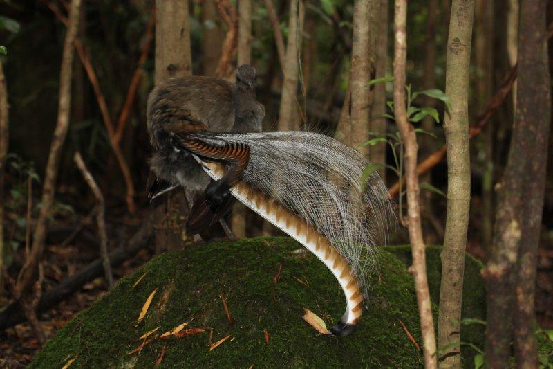 Superb Lyrebird showing off
