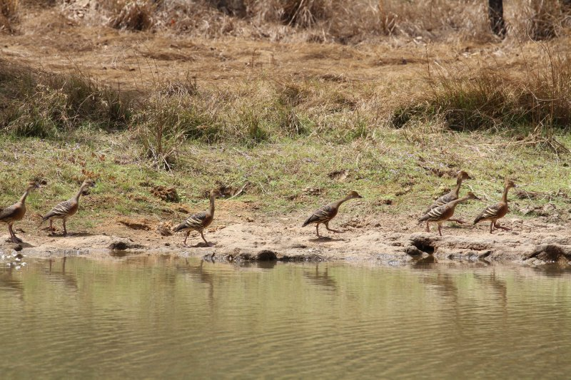 Wandering-Whistling Ducks