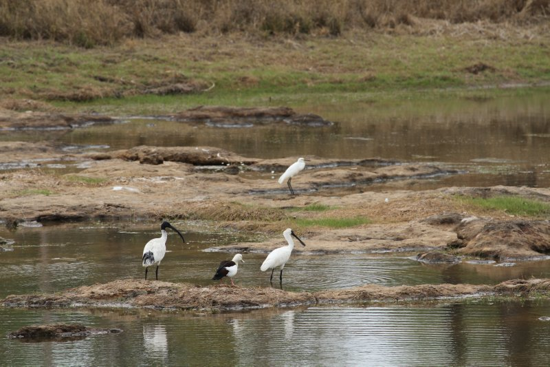 White Ibis, Radjah Shelduck, Royal Spoonbill and Egret