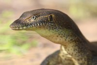 Closeup of Monitor Lizard at Manning Gorge
