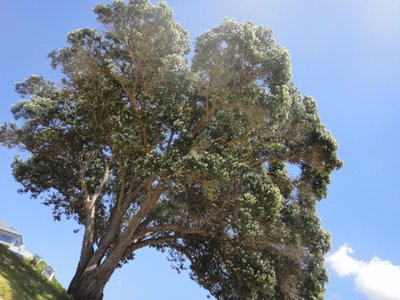 Neuseeländischer Weihnachtsbaum: Der bekommt bis zum 24. ganz viele rote Blüten