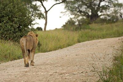 Lion 71