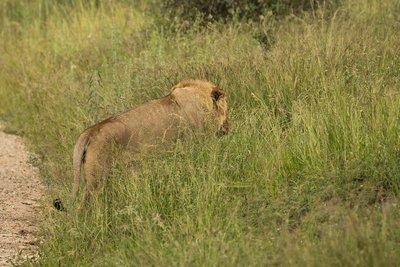 Lion 75