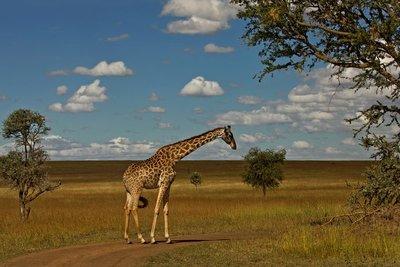 Giraffe 21