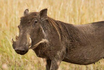 Warthogs 25
