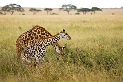 Giraffe 23