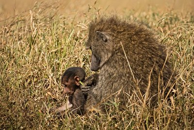 Baboon, Olive 15