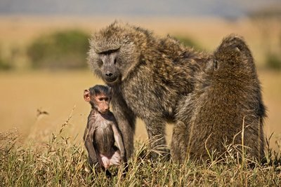 Baboon, Olive 2