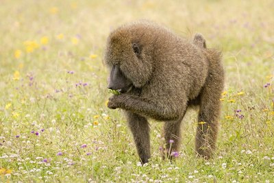 Baboon, Olive 25