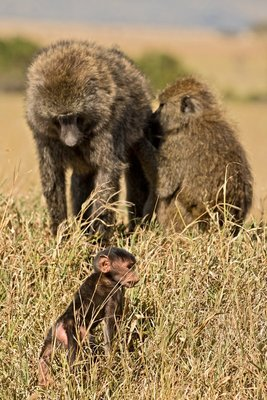 Baboon, Olive 5