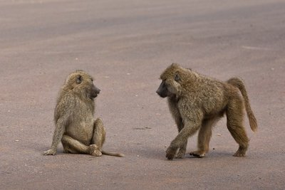 Baboon, Olive 51