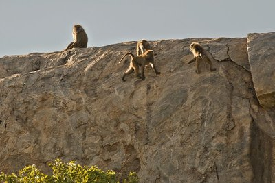 Baboons, Olive 401
