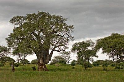 Baobab 76