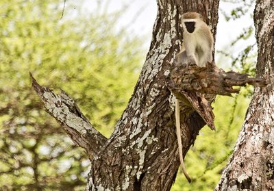 Black Faced Vervet Monkey 5-2