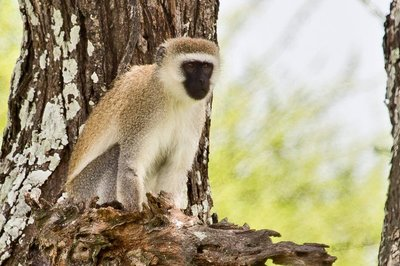Black Faced Vervet Monkey 5-3