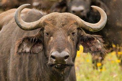 Buffalo 53