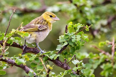 Canary, Yellow Crowned 5-1