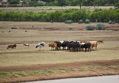 Cattle at watering Hole 1