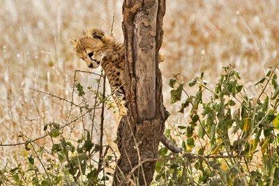 Cheetah 33