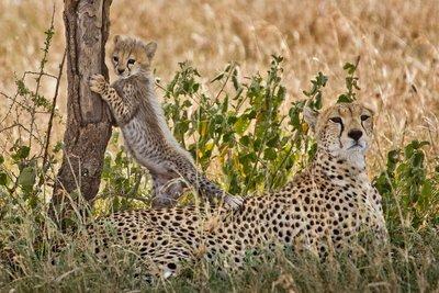 Cheetah 42