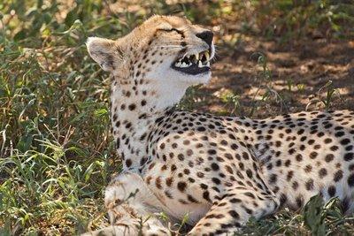 Cheetah 7