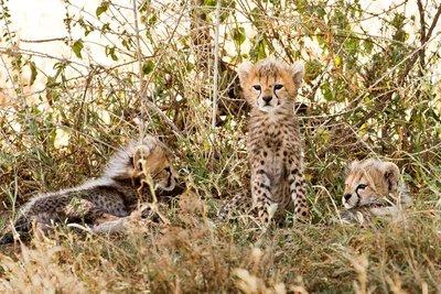 Cheetah 71