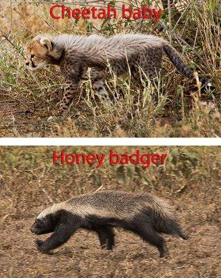 Cheetah and Honey Badger