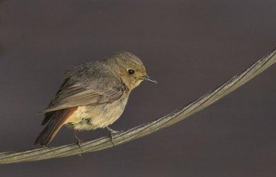 Common Redstart 1