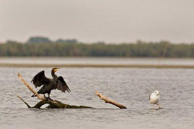 Cormorant and Seagull 2