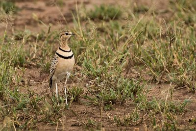 Courser, Two Banded 21