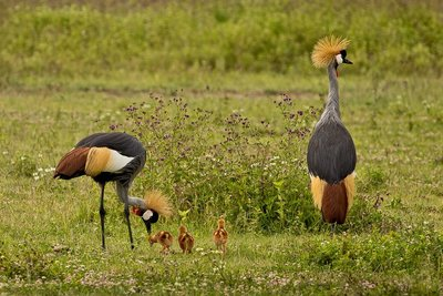 Crane, Grey Crowned (with chicks) 2