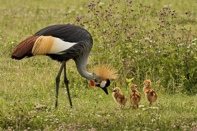 Crane, Grey Crowned (with chicks) 3