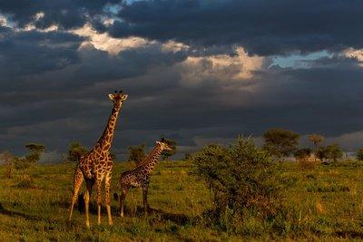 Giraffe 9-78