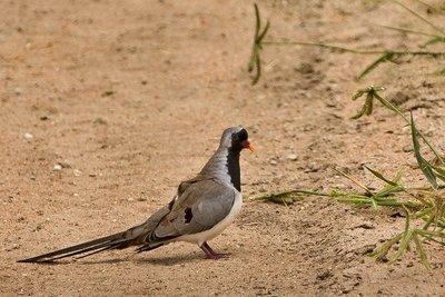 Dove, Namaqua 21