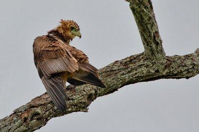 Eagle, Brown Snake 2