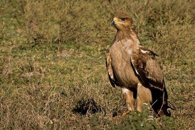 Eagle, Tawny 601