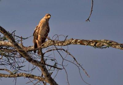 Eagle, Tawny 9-61