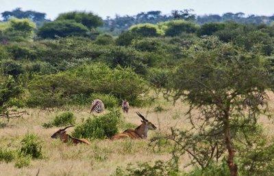 Eland and Zebra 4-1