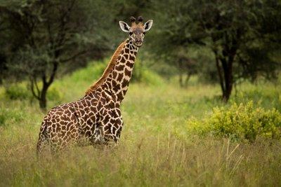 Giraffe 62