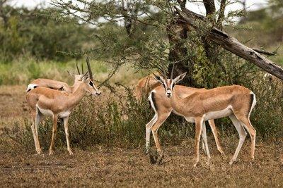 Gazelle, Grants 1