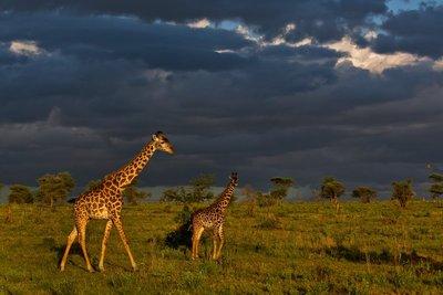 Giraffe 9-76